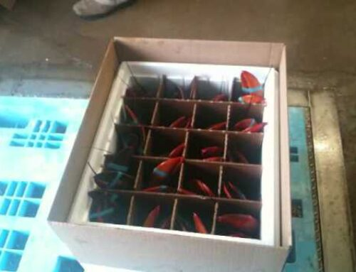 Live Lobsters Shipped for Special Occasions & Holidays