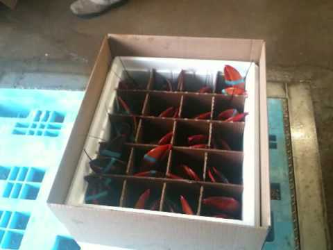 Live lobsters shipped special occasions, events
