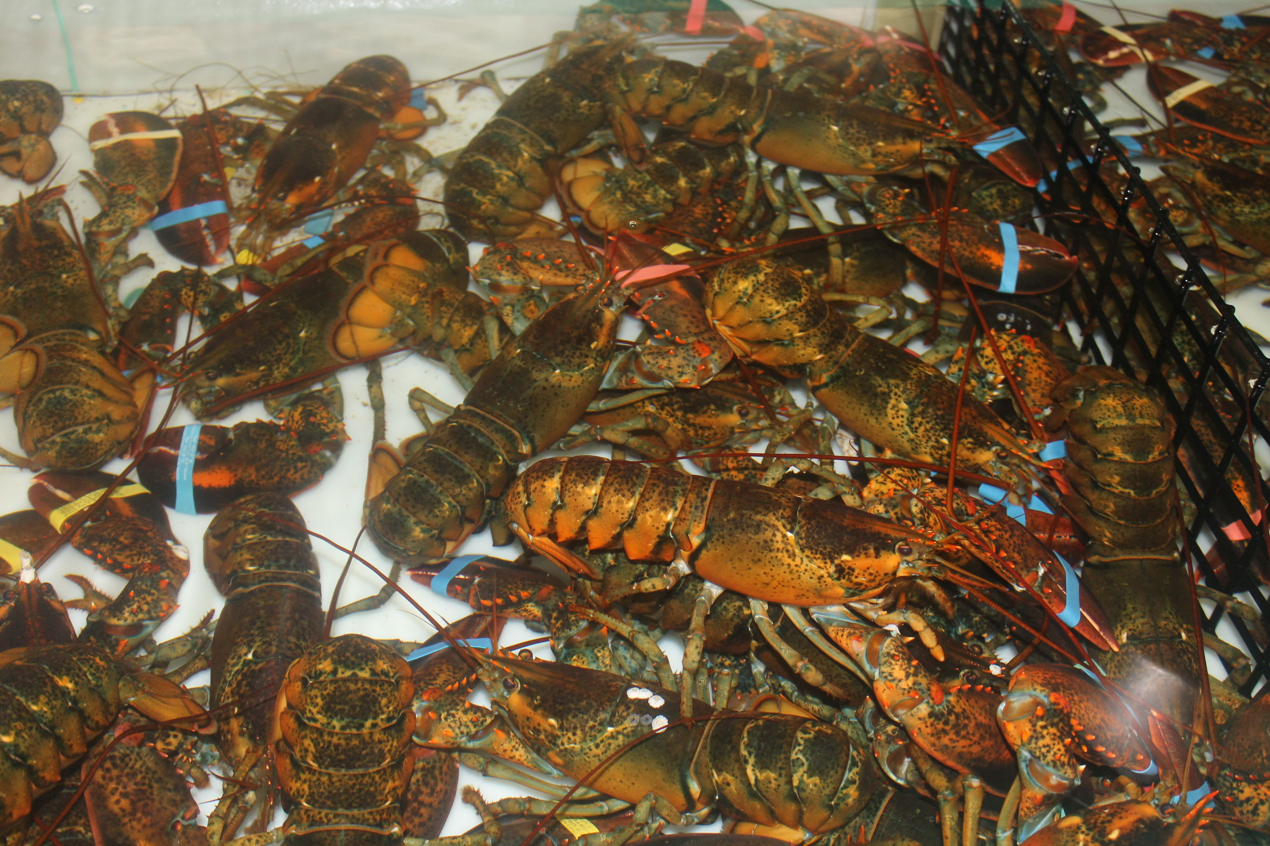 maine lobster delivery