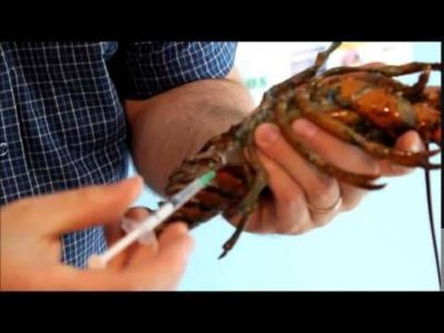 lobster blood extraction