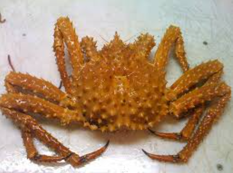 golden king crab