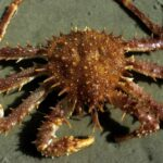 atlantic king crab