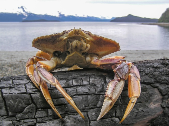 dungeness crab price