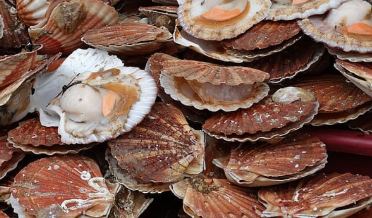 sustainable scallop farming